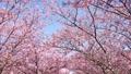 河津桜 50435379