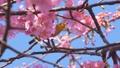 河津桜とメジロ 50435381