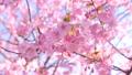 朝の河津桜 50435389
