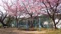 河津桜と鉄棒 50435394