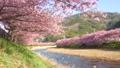 満開の河津桜 50435398