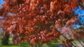 Red maple tree foliage under sunlight background. Red Sunset tree 50461449
