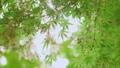 新緑の楓の葉 50466017