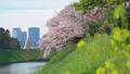 水辺に咲く菜の花と桜 50466084