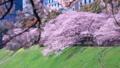 満開の桜 50466085