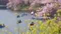 満開の菜の花と桜の木 50477363