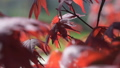 Red maple tree foliage under sunlight background. Red Sunset tree 50496159