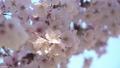 桜 フィックス 50504834