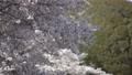 桜 桜吹雪 スローモーション フィックス 50504835
