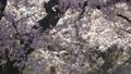 桜 桜吹雪 スローモーション フィックス 50504837