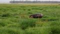 Hippopotamus Walk On A Swampy Pasture Area With Green Grass In African Savannah 50507445