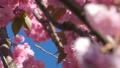 Beautiful cherry blossom sakura in spring time over blue sky. 50524192