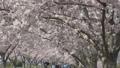 お花見 桜並木を歩く 50527650