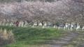 桜並木 犬の散歩をする女性の後姿 50527651