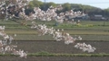 桜散る 50527652