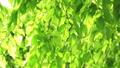 年輕的葉子季節綠色在微風中搖曳 50539538