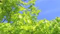 年輕的葉子季節綠色在微風中搖曳 50539540