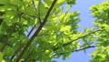 年輕的葉子季節綠色在微風中搖曳 50539541