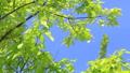 年輕的葉子季節綠色在微風中搖曳 50539542