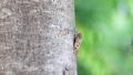 公園の立ち木に止まる蝉 50551016