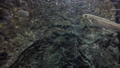 さけの稚魚(群泳) 50555358