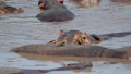 Close Up Of Hippos In The River And Birds Eating Parasites From Animal Skin 50566305