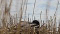 Eurasian coot seats in his nest on lake. 50566462
