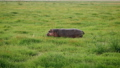 African Hippo Grazing The Juicy Green Grass In Swampy Pasture Knee Deep In Mud 50584919