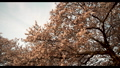 満開の桜 50586389