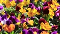 Pansy (Viola) (light breeze) blooming in a sunny flower bed 50594972
