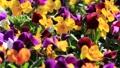 日当たりのよい花壇に咲くパンジー(ビオラ) (微風) 50594972