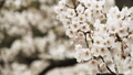 Cherry Blossoms in Full Bloom. 50597367