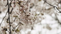 Cherry Blossoms in Full Bloom. 50597369