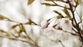 Cherry Blossoms in Full Bloom. 50597372