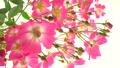 粉紅玫瑰玫瑰逼近小車 50602547