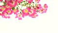 粉紅玫瑰玫瑰逼近小車 50602548