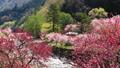 花桃の里(阿智村) フィクス撮影 50614608