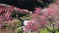 花桃の里(阿智村) フィクス撮影 50614612