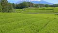 富士和新茶茶園,台場,富士市,靜岡縣 50618631
