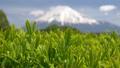 富士和新茶茶園,台場,富士市,靜岡縣 50618633