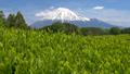 富士和新茶茶園,台場,富士市,靜岡縣 50618643