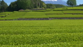 富士和新茶茶園,台場,富士市,靜岡縣 50618645