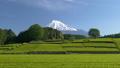 富士和新茶茶園,台場,富士市,靜岡縣 50618762