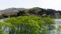 白川湖の水没林 空撮 山形飯豊 50620039