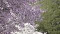 桜 桜吹雪 フィックス 50674602