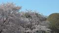 桜 フィックス 50674603