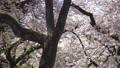 桜 桜吹雪 スローモーション フィックス 50674604