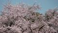 桜  パン 50674605