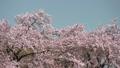 桜  パン 50674606