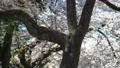 桜 桜吹雪 フィックス 50674607